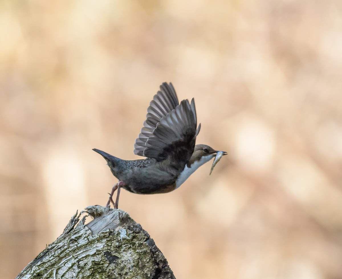 Oiseaux de nos rivières.Le Cincle Plongeur