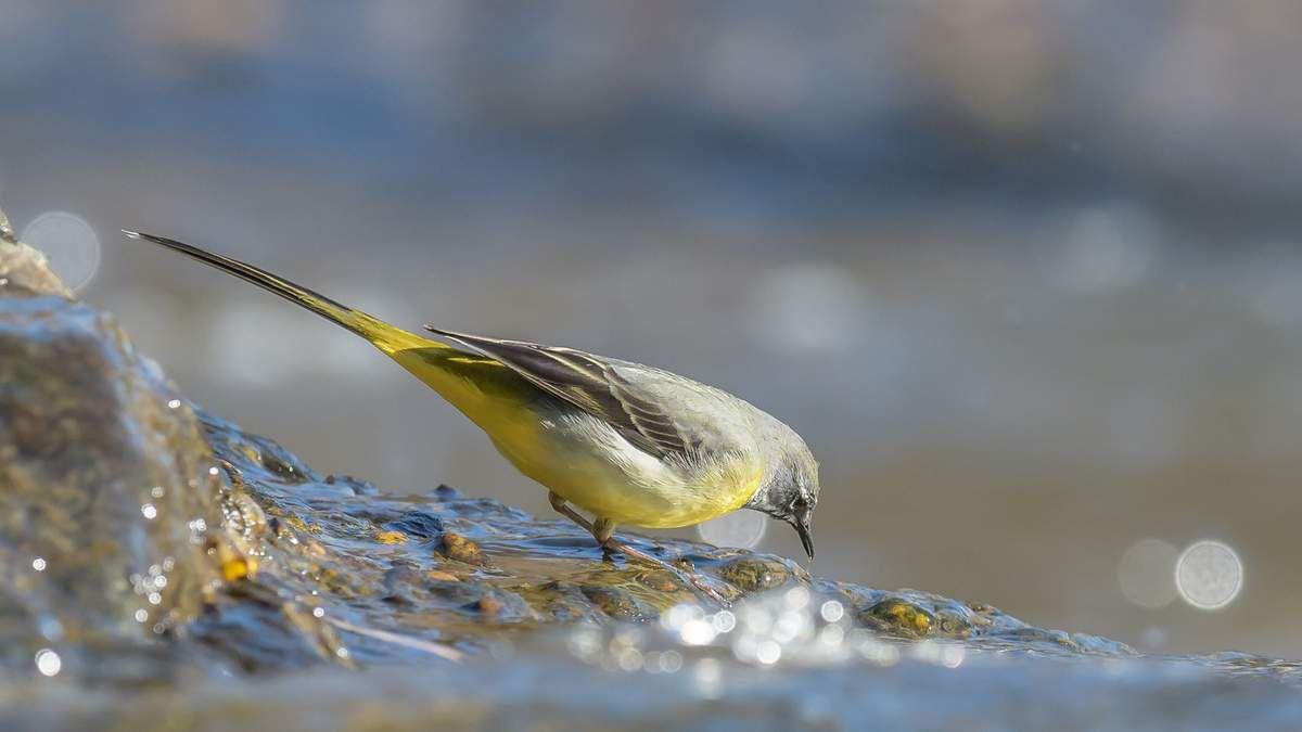 Oiseaux des rivières.La Bergeronnette des ruisseaux