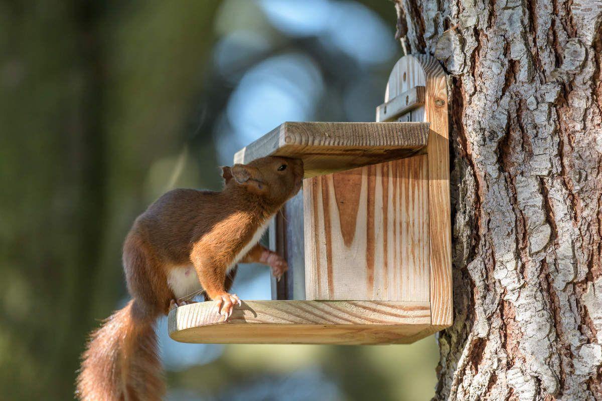 Ecureuils fidèles aux mangeoires