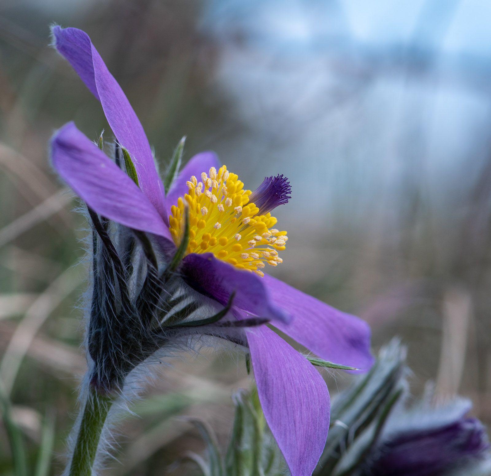 Anémone pulsatille violette