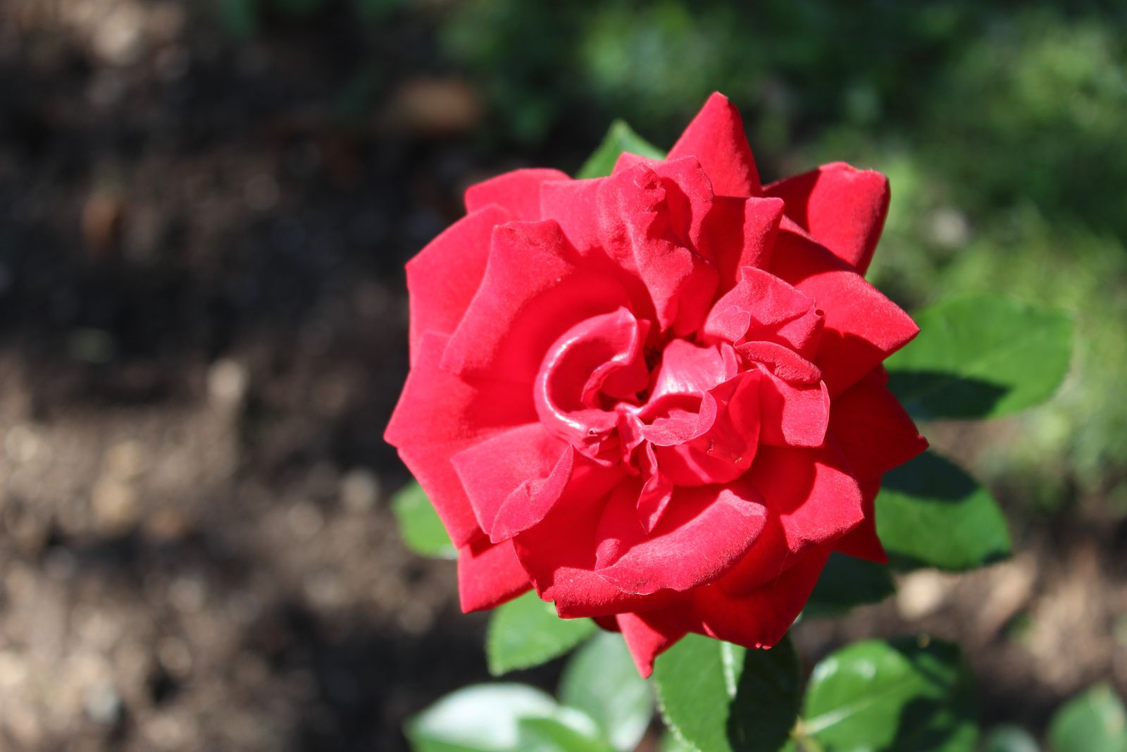 """Gallipoli centenary rose"""