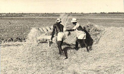 Battege du riz