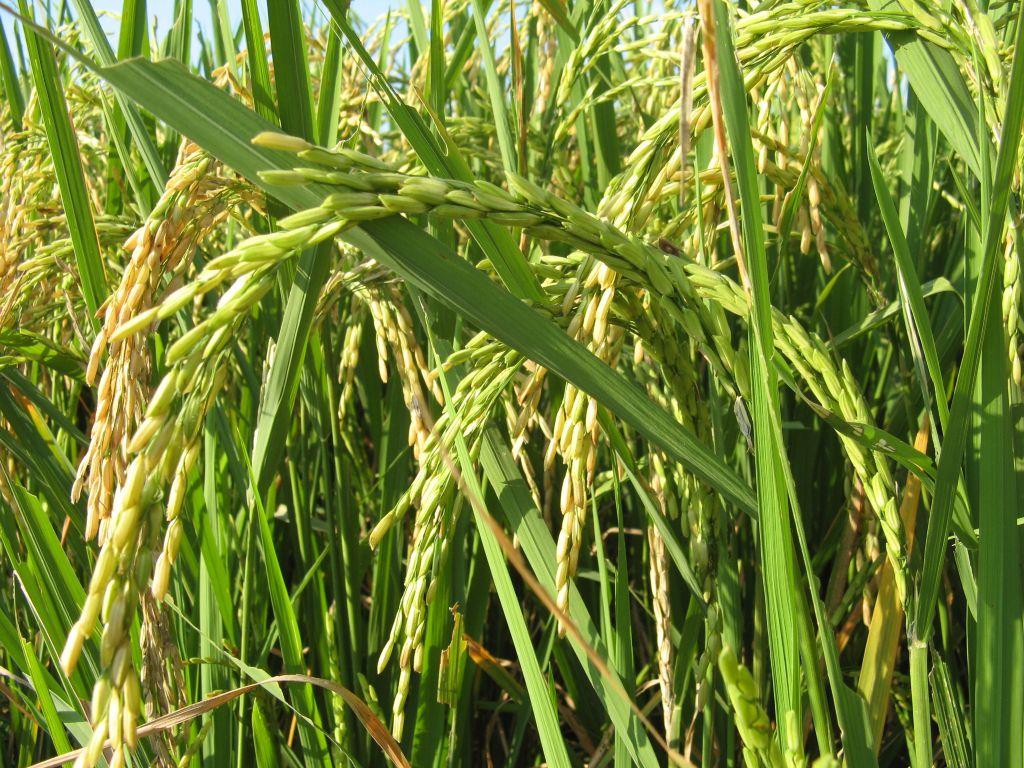 Conte: Le riz et le manioc