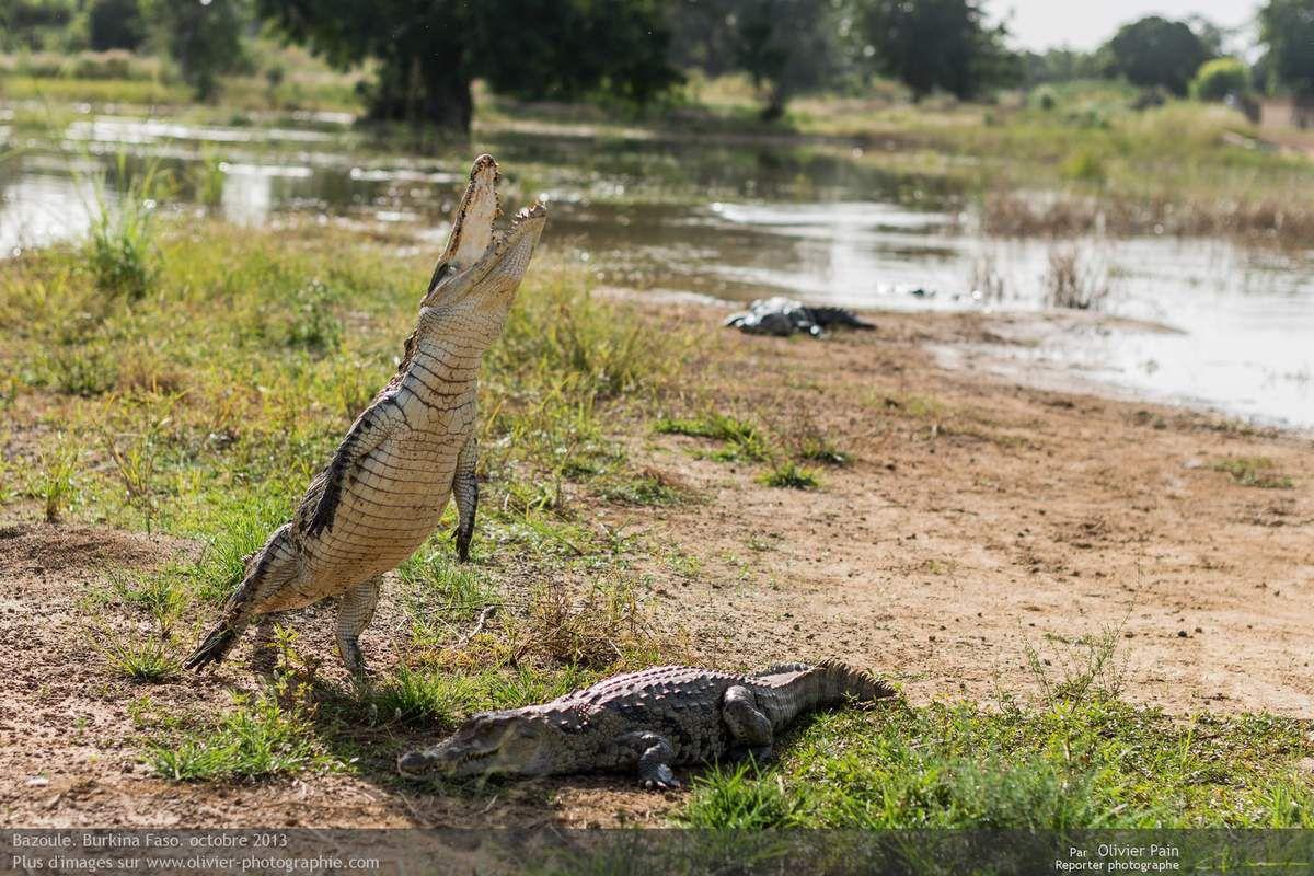 Photo : Les crocodiles sacrés de Bazoulé.