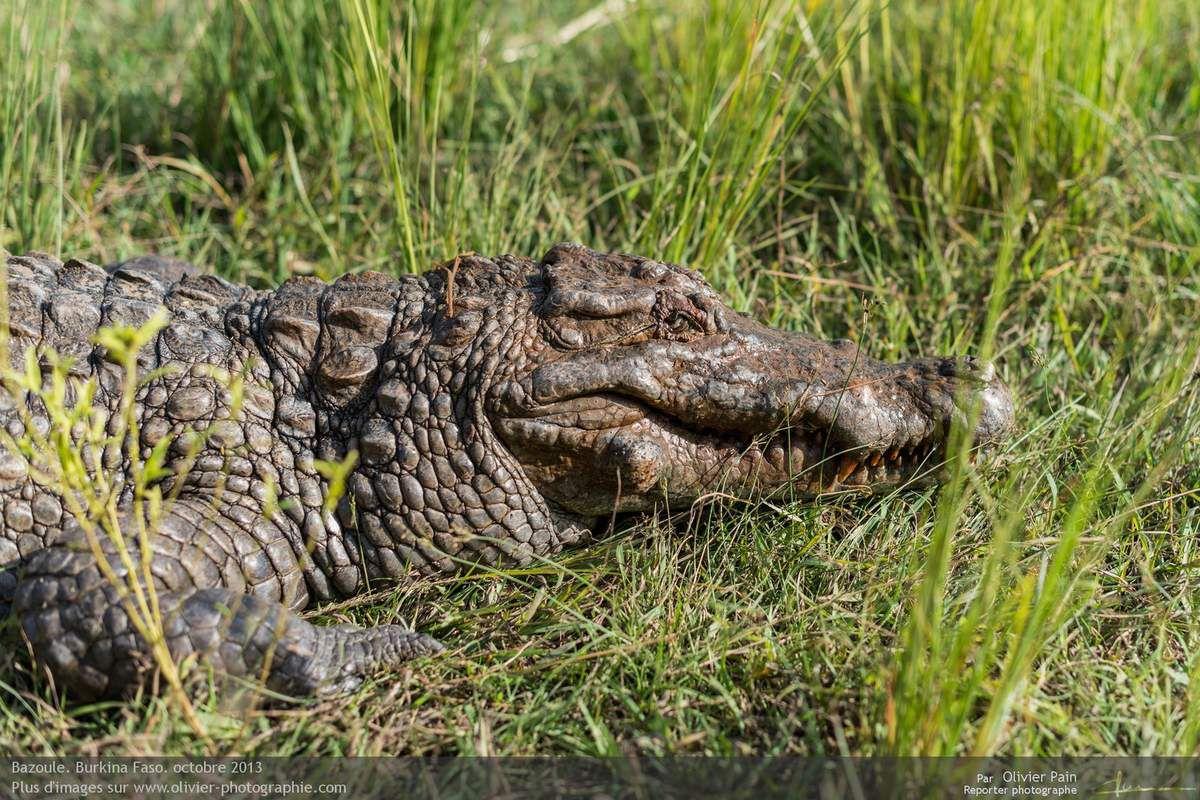 Photo : Visite des crocodiles sacrés de Bazoulé. Photographie du plus vieux.