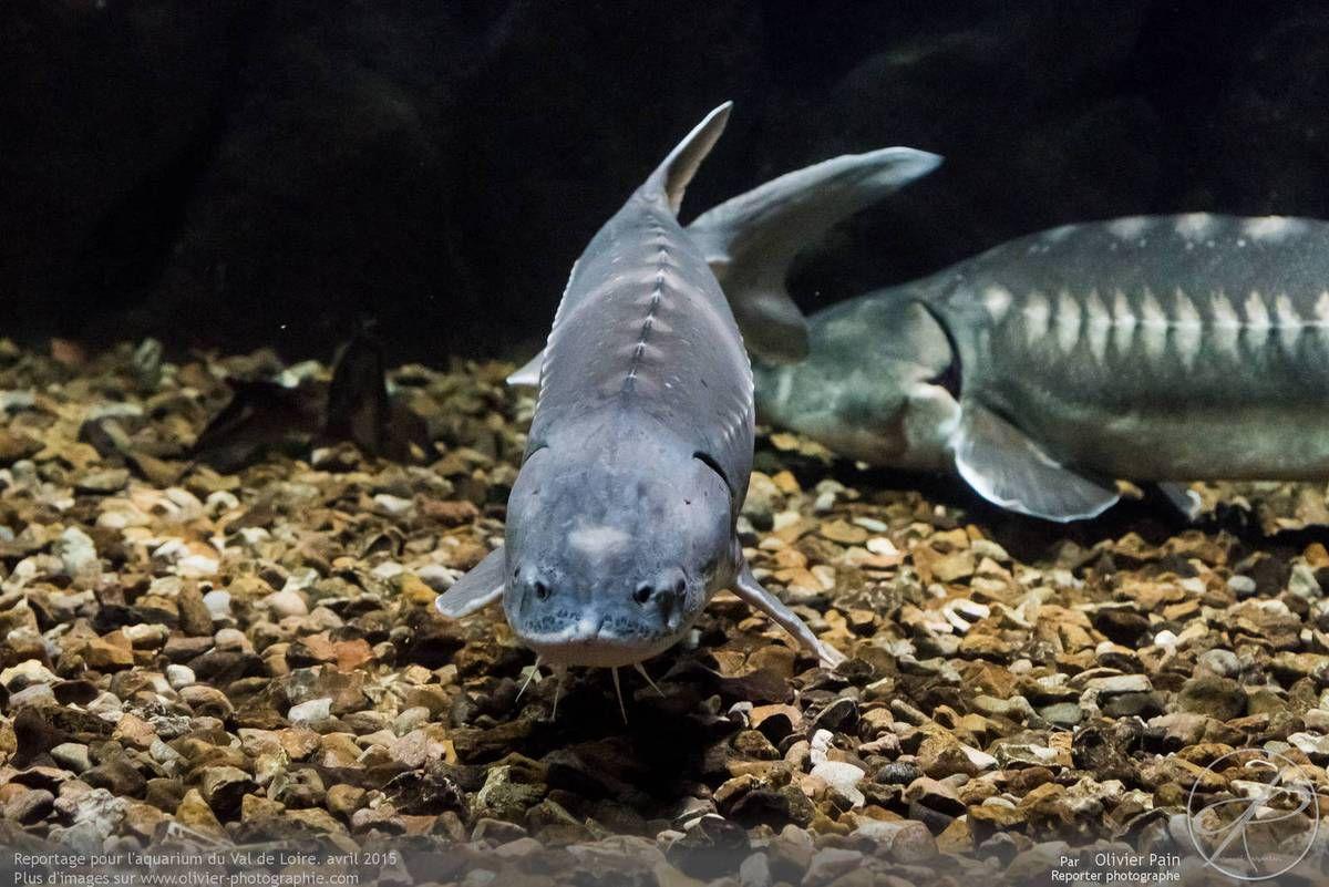 Reportage pour l'aquarium du val de loire à Amboise.