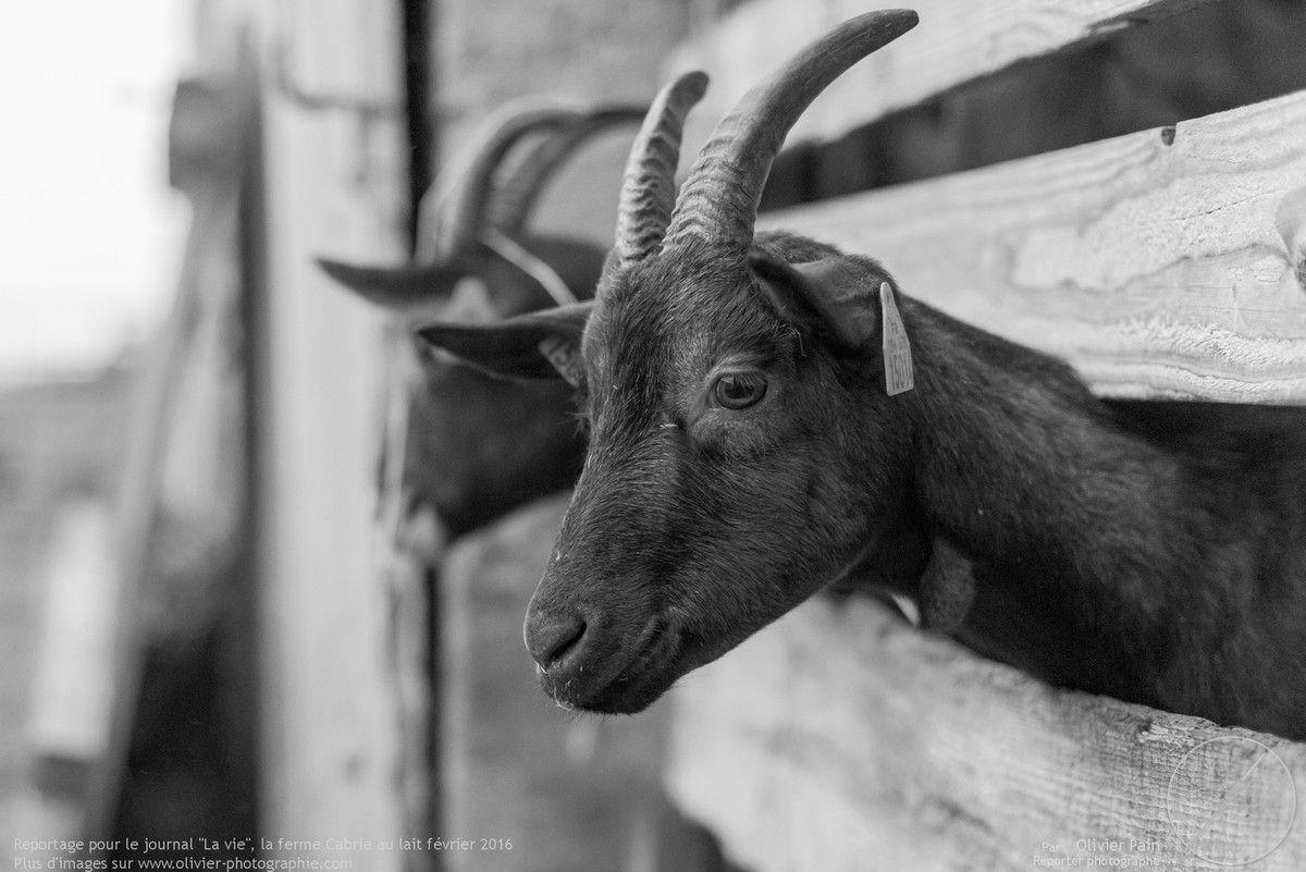 Reportage photo sur la ferme du Cabri au Lait pour le magazine La vie