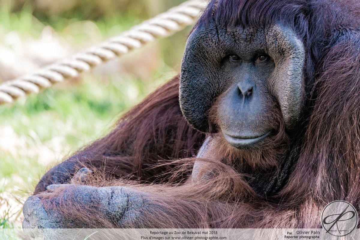 Reportage au Zoo de Beauval : Les primates