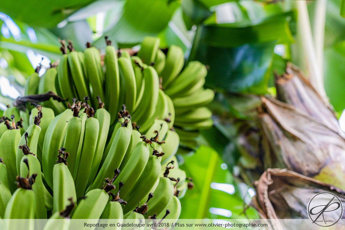 Reportage dans une bananeraie en Guadeloupe