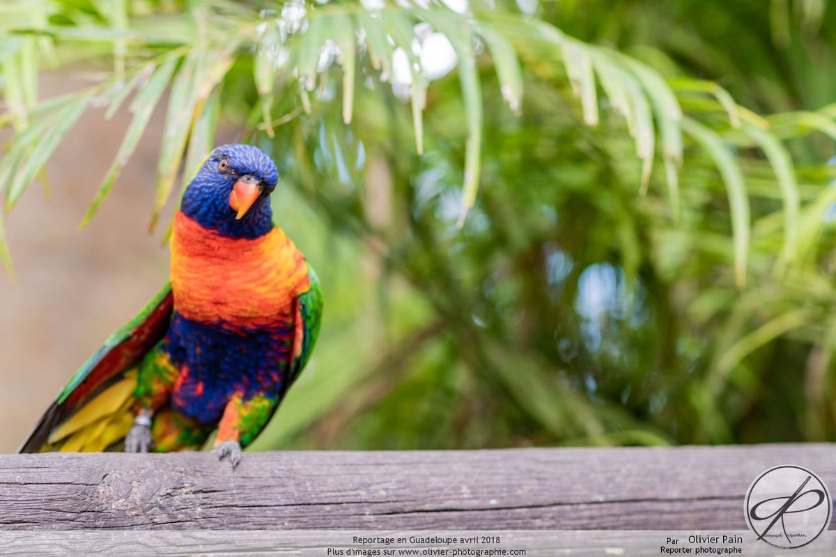 Reportage animalier en Guadeloupe