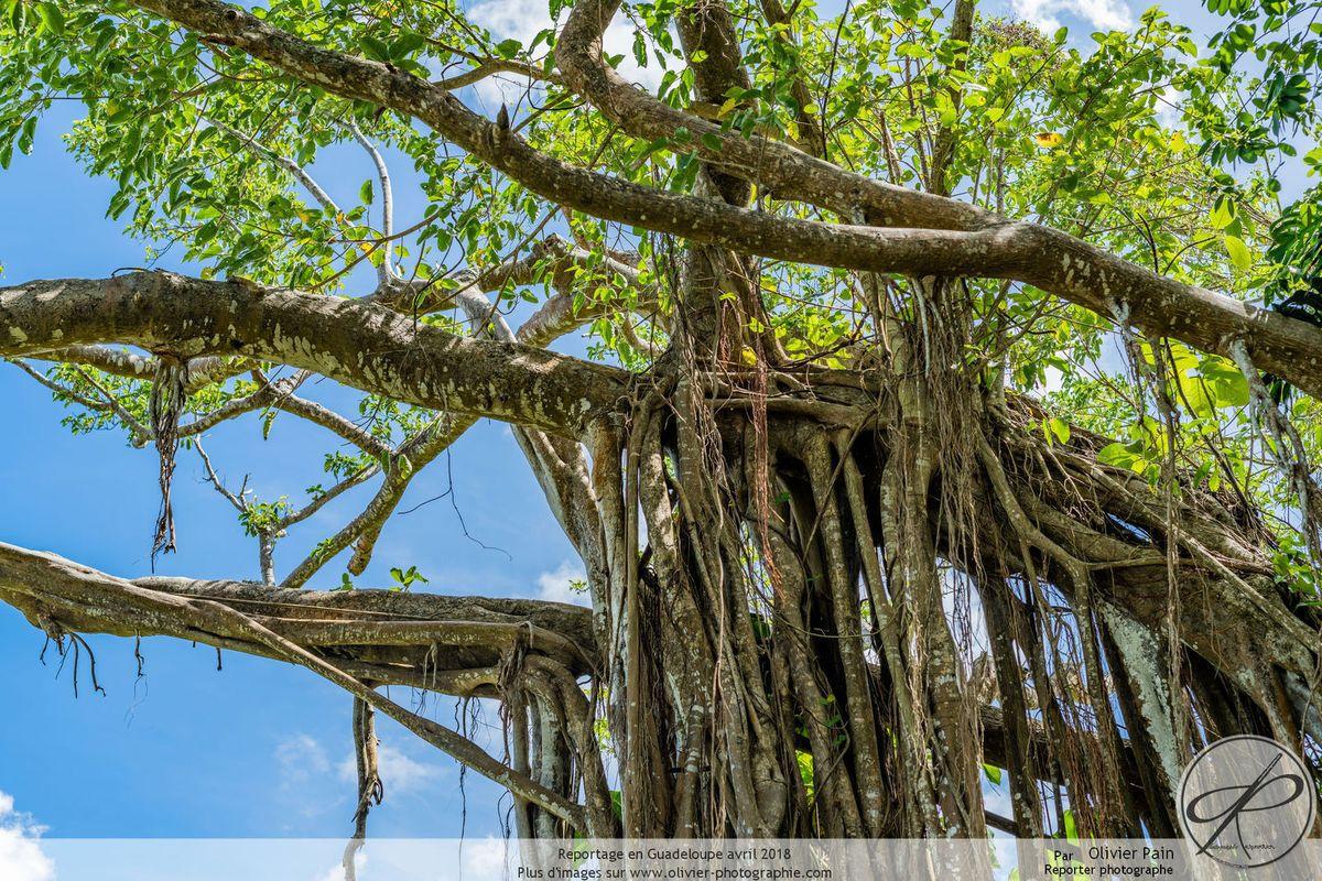Reportage sur la flore en Guadeloupe