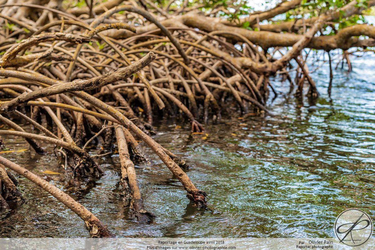 Reportage en Gaudeloupe, la Mangrove