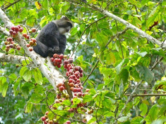 Des bandes de singes vivent sur les pentes du Kilimanjaro. (photo LD)