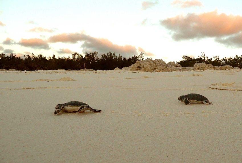 Naissance de tortues sur les îles éparses (canal du Mozambique)