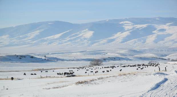 Crédit : Vaches au Montana en décembre dernier. Crédit : Cody McDaniel
