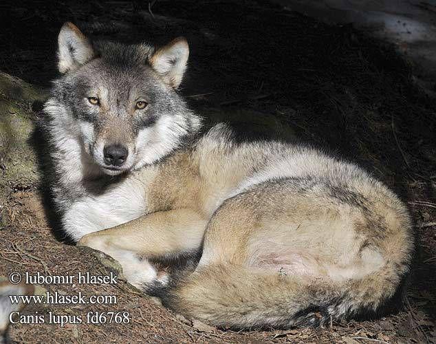 Nicolas Hulot autorise dans la discrétion l'abattage des loups