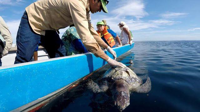 Des centaine tortues de mer meurent mystérieusement près des côtes du Salvador
