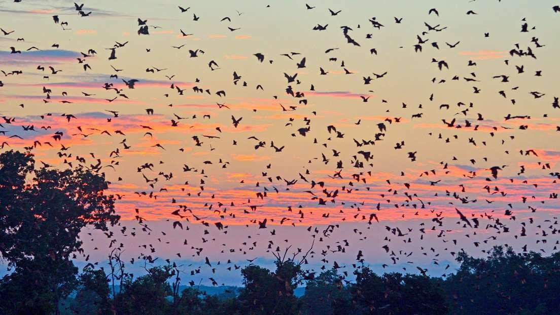 Plusieurs colonies de renards volants ont élu domicile dans la ville d'Ingham en Australie, causant de sérieux problèmes aux habitants. © Moises Lopez @chapoisat, Twitter