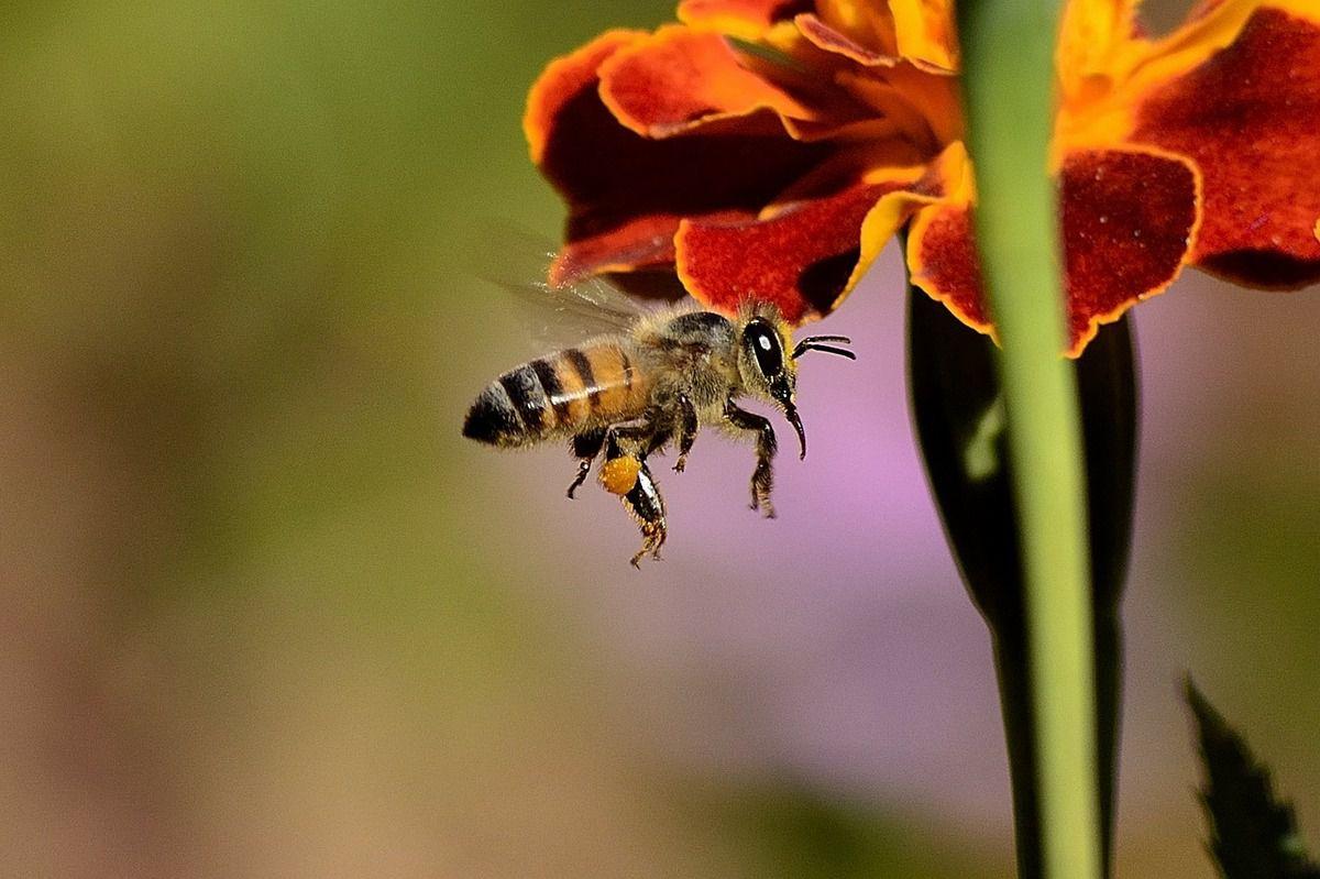 Le dard de l'abeille (photo Pixabay)