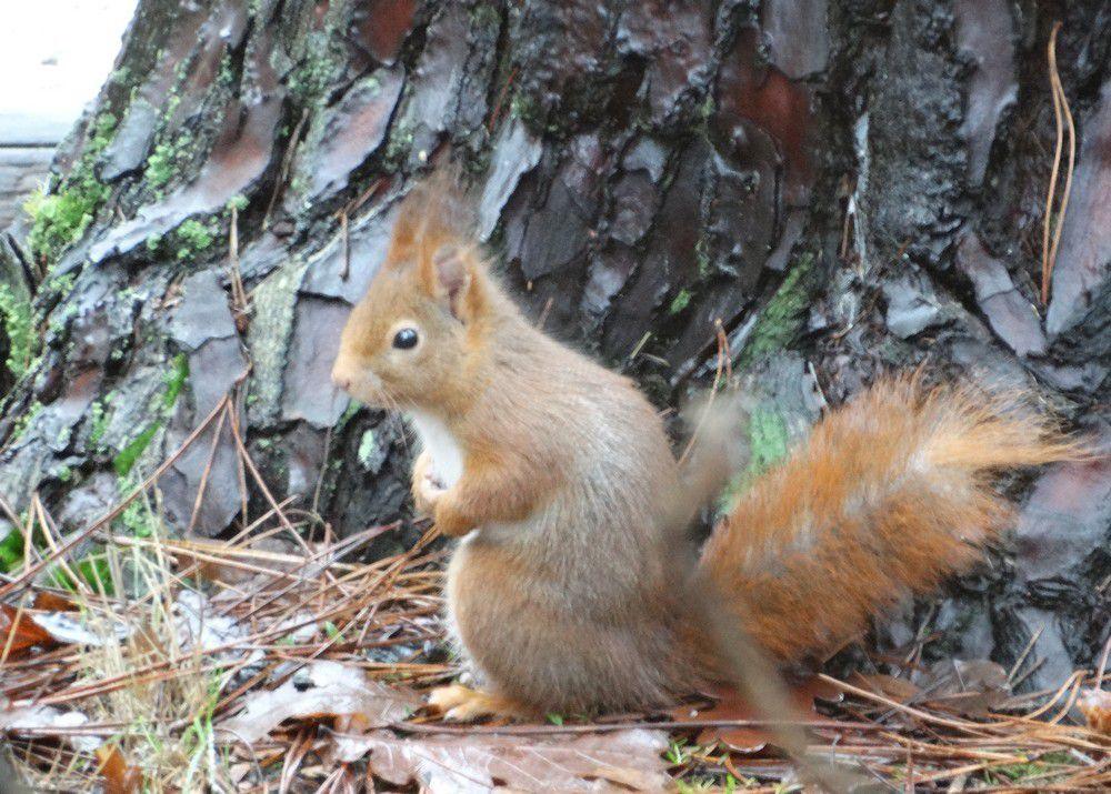 Les écureuils de Vendée...