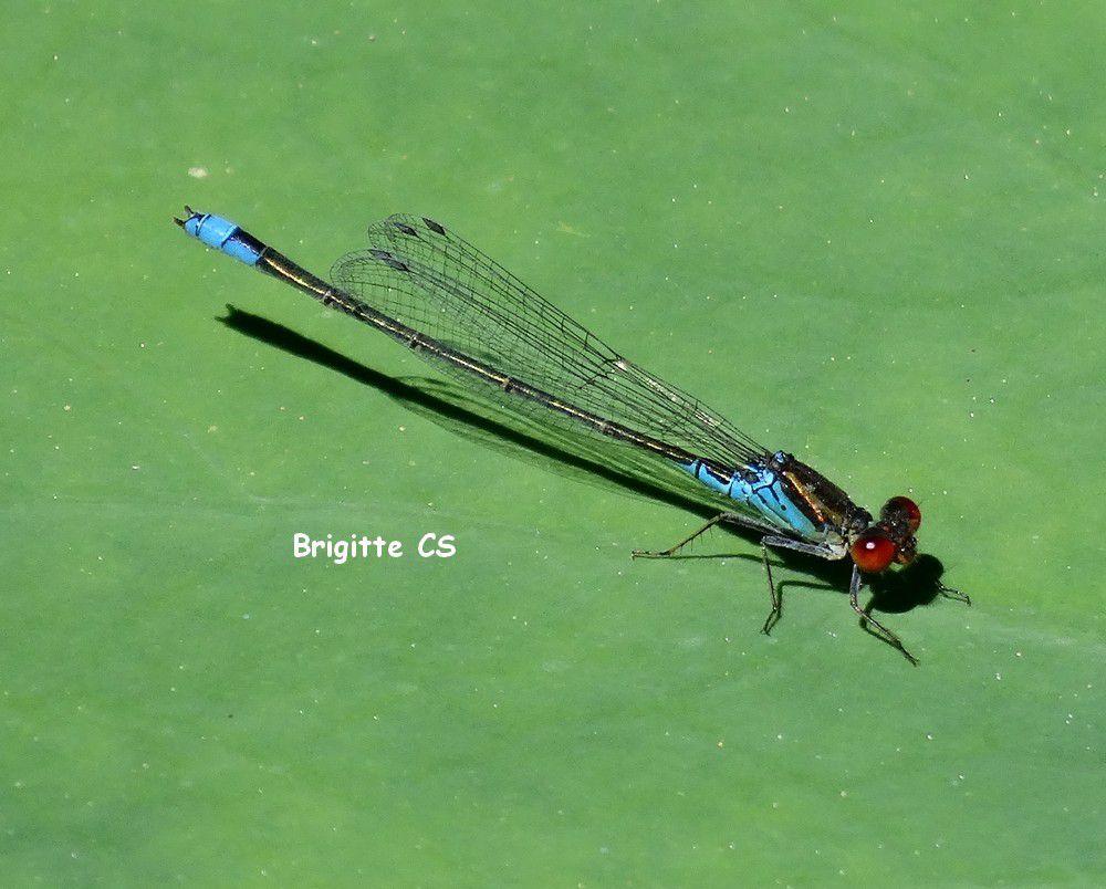 1 à 3) libellule bleue ou Demoiselle 4 et 5) libellule rouge ou libellule déprimée 6 à 8) grenouilles vertes 9) lymnée des étangs 10) carpe koï, poissons rouges
