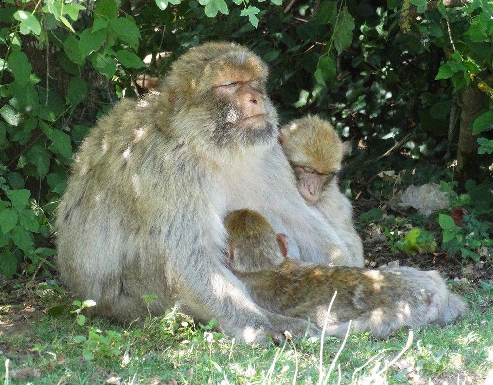 La forêt des singes à Rocamadour (3/3)...