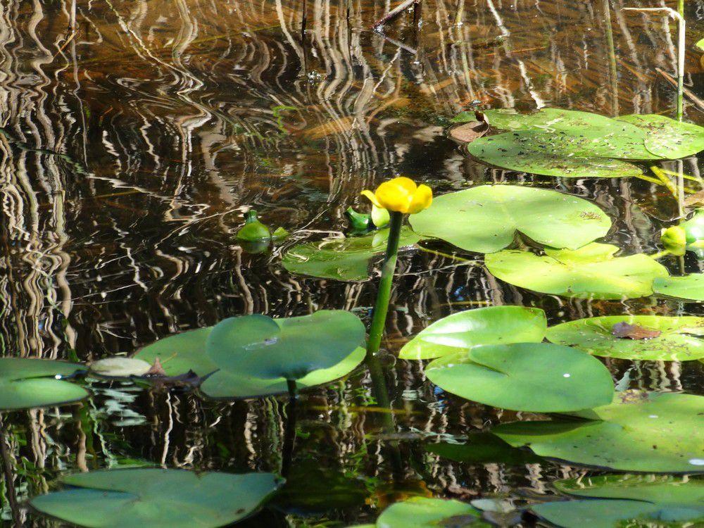 Fleurs sur le lac de Lacanau
