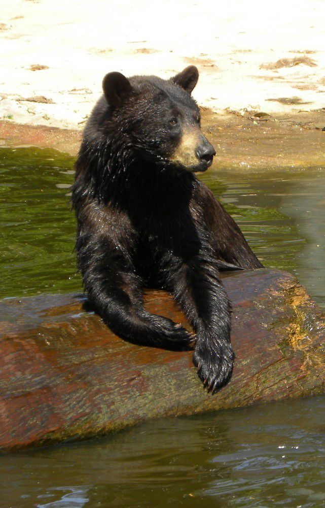 Ours noir, photographié au Zoo de La Teste en 2010