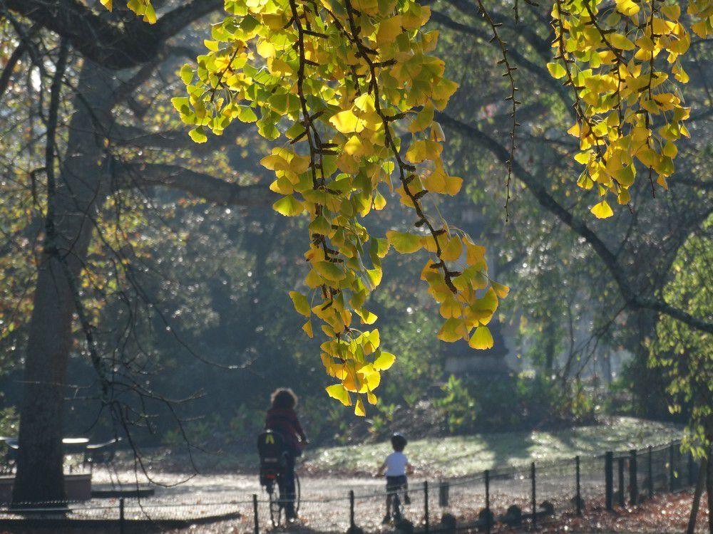Rideau d'or au Parc Bordelais...