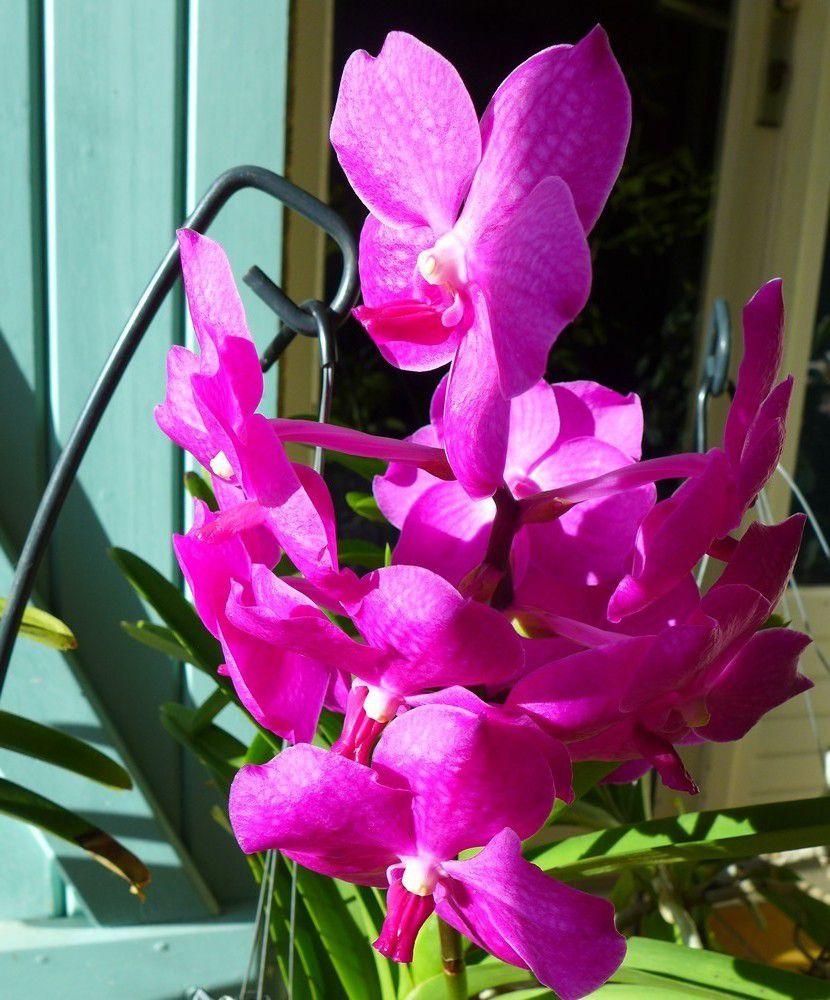 Vandas en fleurs - décembre 2015...