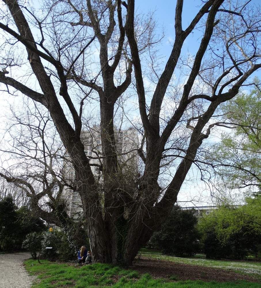 Un arbre remarquable : le peuplier noir de Chante-Grillon...