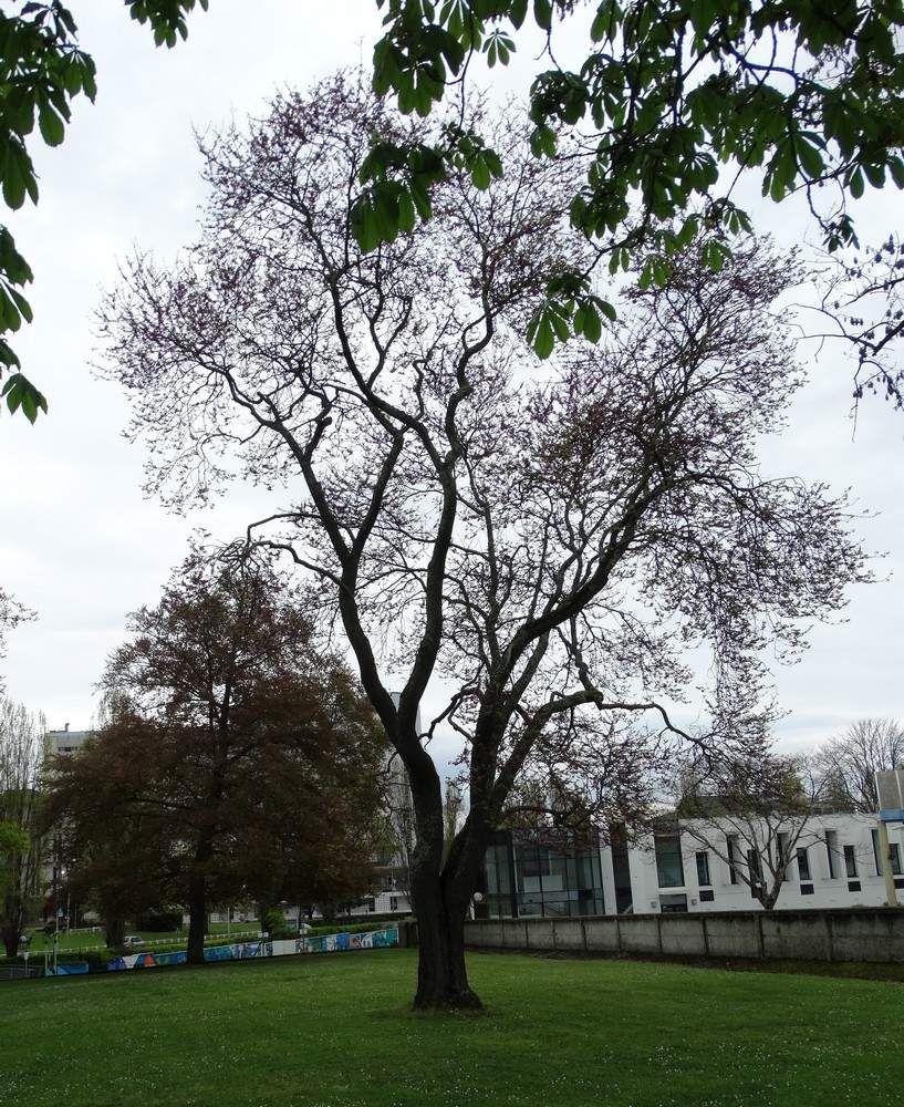 A la recherche des arbres de Judée de Charles Perrens...