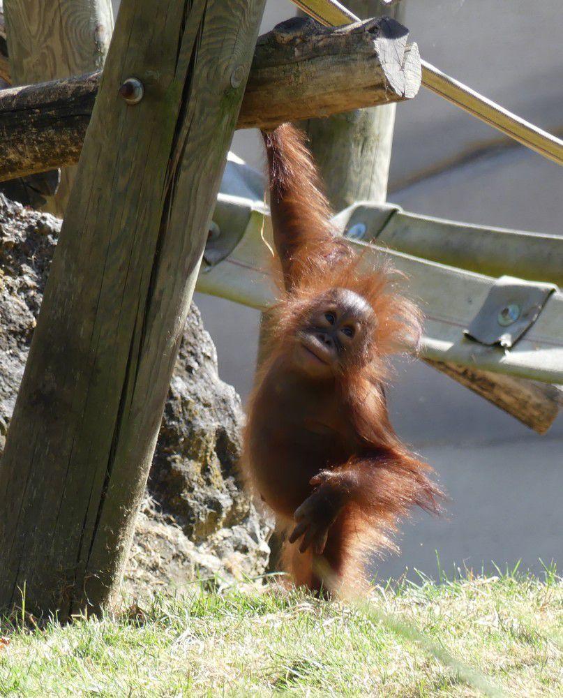 Le bébé orang-outan qui voulait réveiller sa maman...
