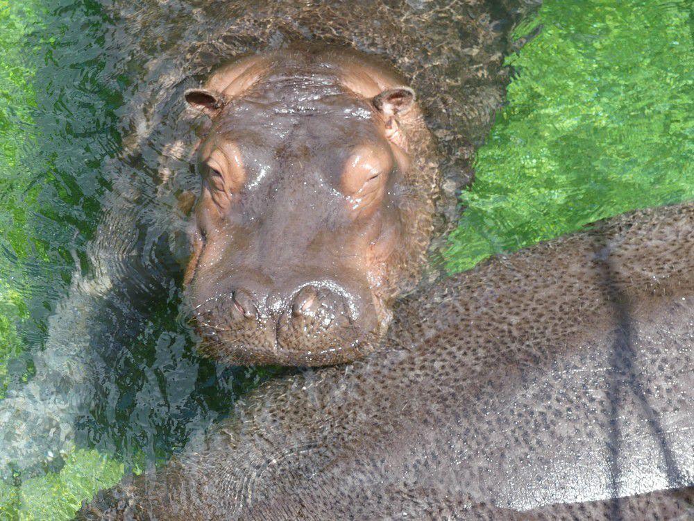 Les hippopotames du zoo de Beauval...