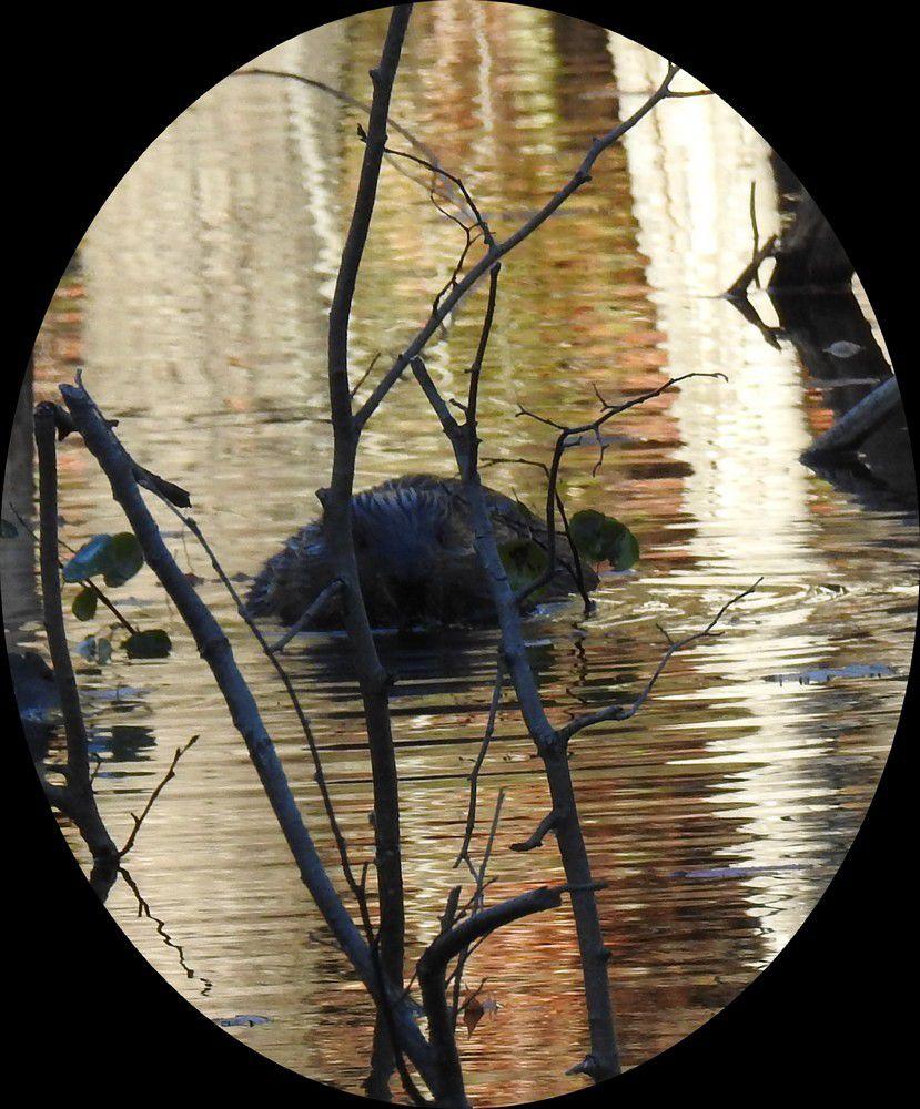 Observation des castors à la Pourvoirie du Lac Blanc, au Canada...