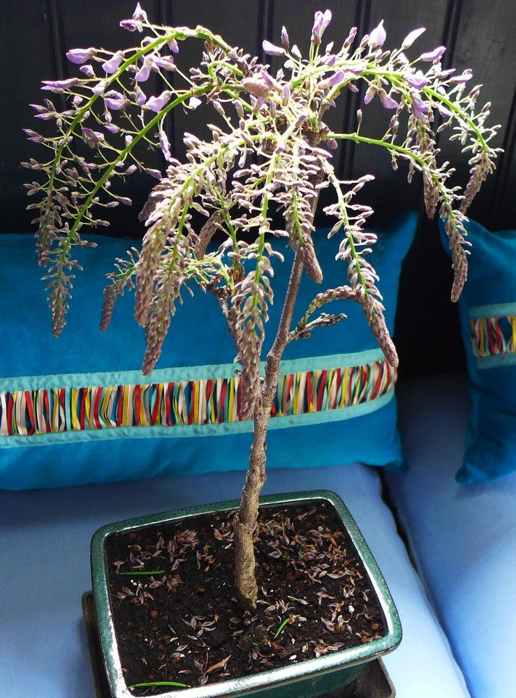 Une glycine en bonsaï...