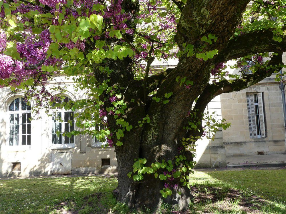 Les arbres remarquables de l'hôpital Charles Perrens...