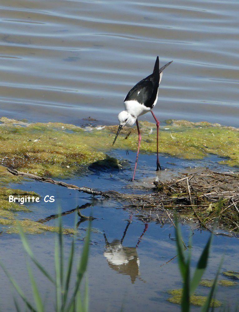 Les échasses blanches au Parc du Teich...