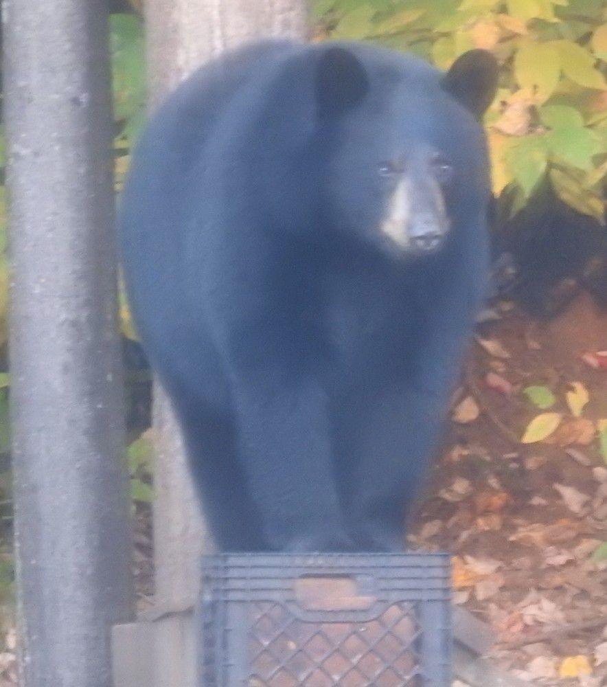 Observation des ours à la Pourvoirie du Lac Blanc au Canada...
