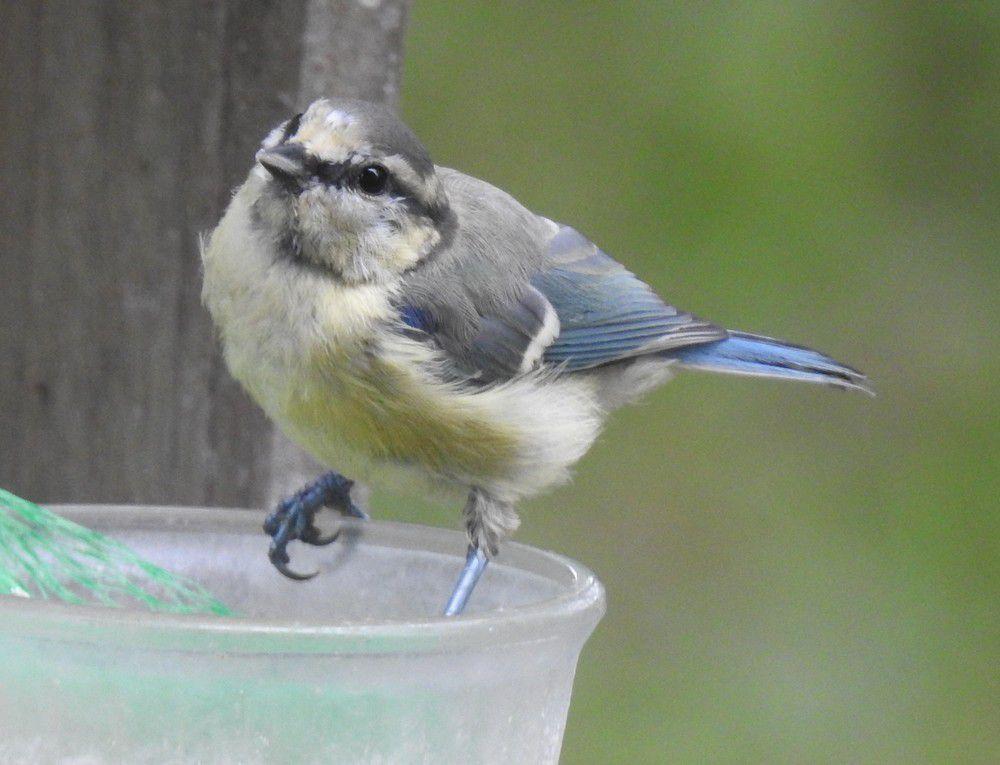Les oiseaux de mon jardin : les mésanges bleues...
