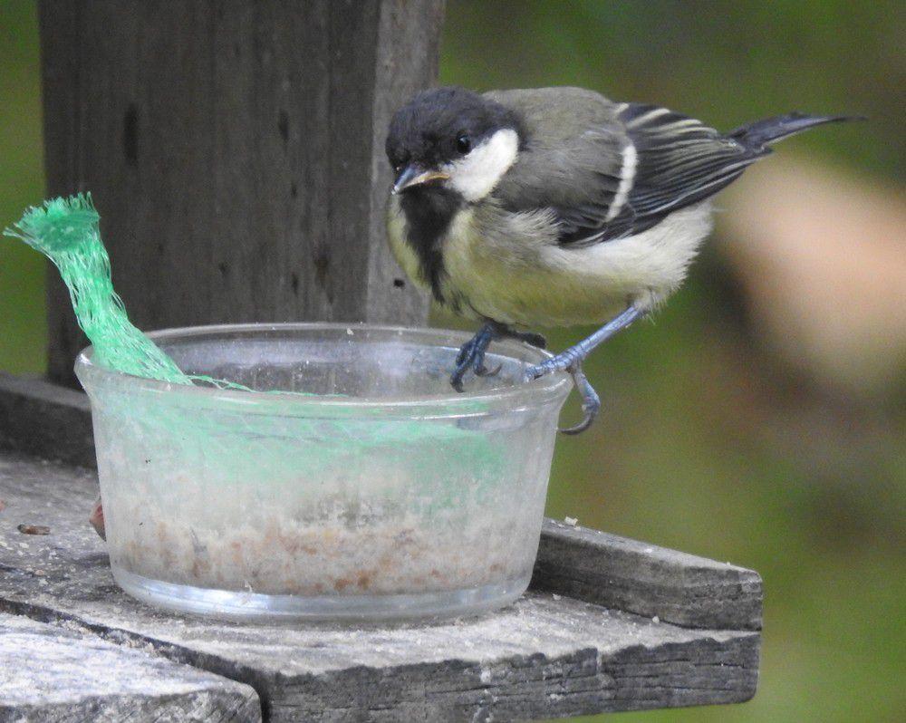 Les oiseaux de mon jardin : les mésanges charbonnières...