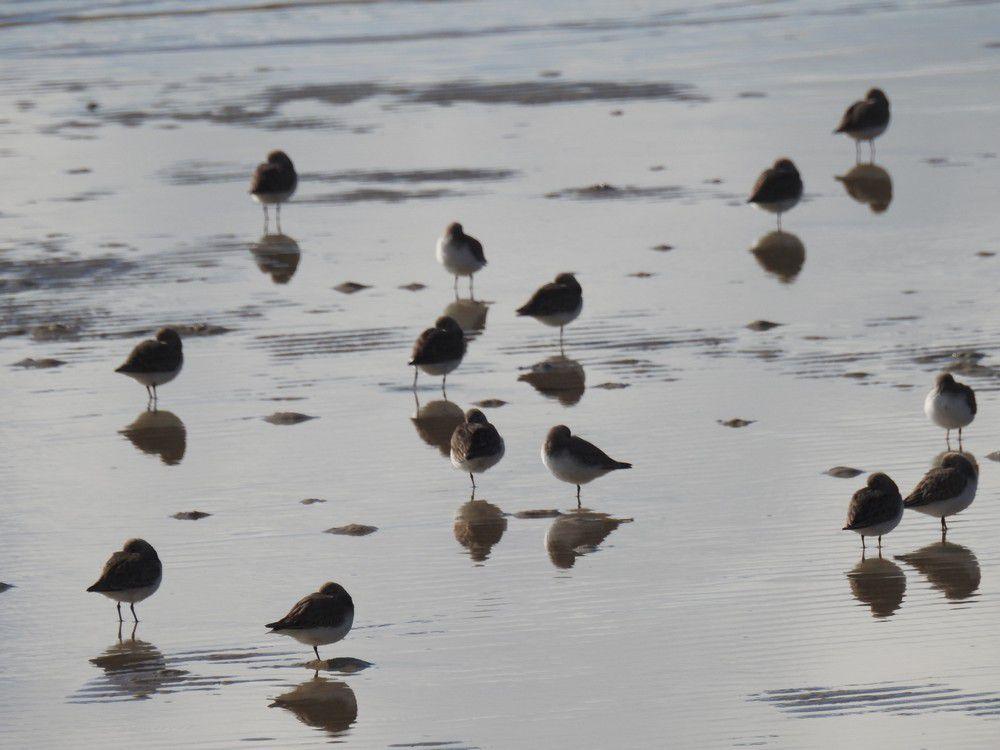 Rassemblement d'oiseaux, au bord du Bassin d'Arcachon...
