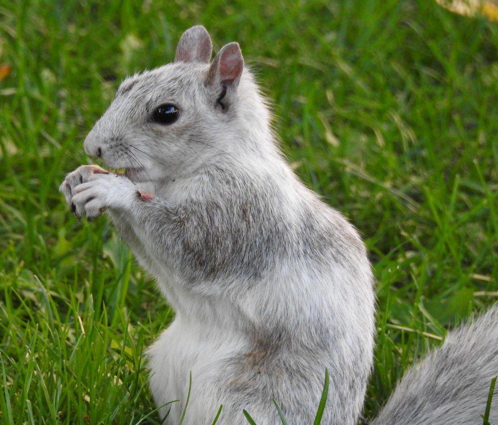 Les écureuils de Montréal (1/2)...