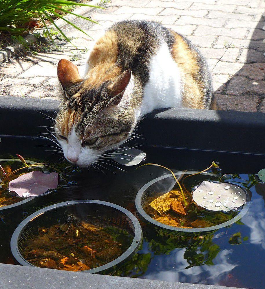 Mes chats et le petit bassin des lotus...