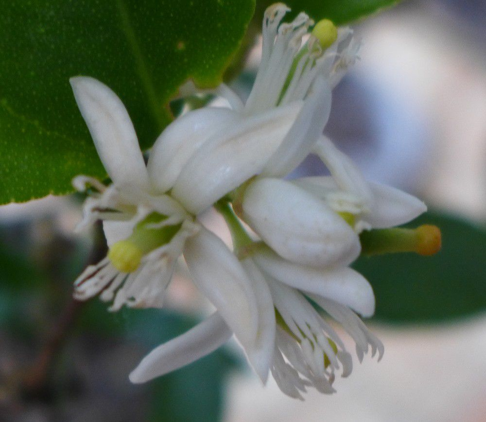 Fleurs d'agrumes...
