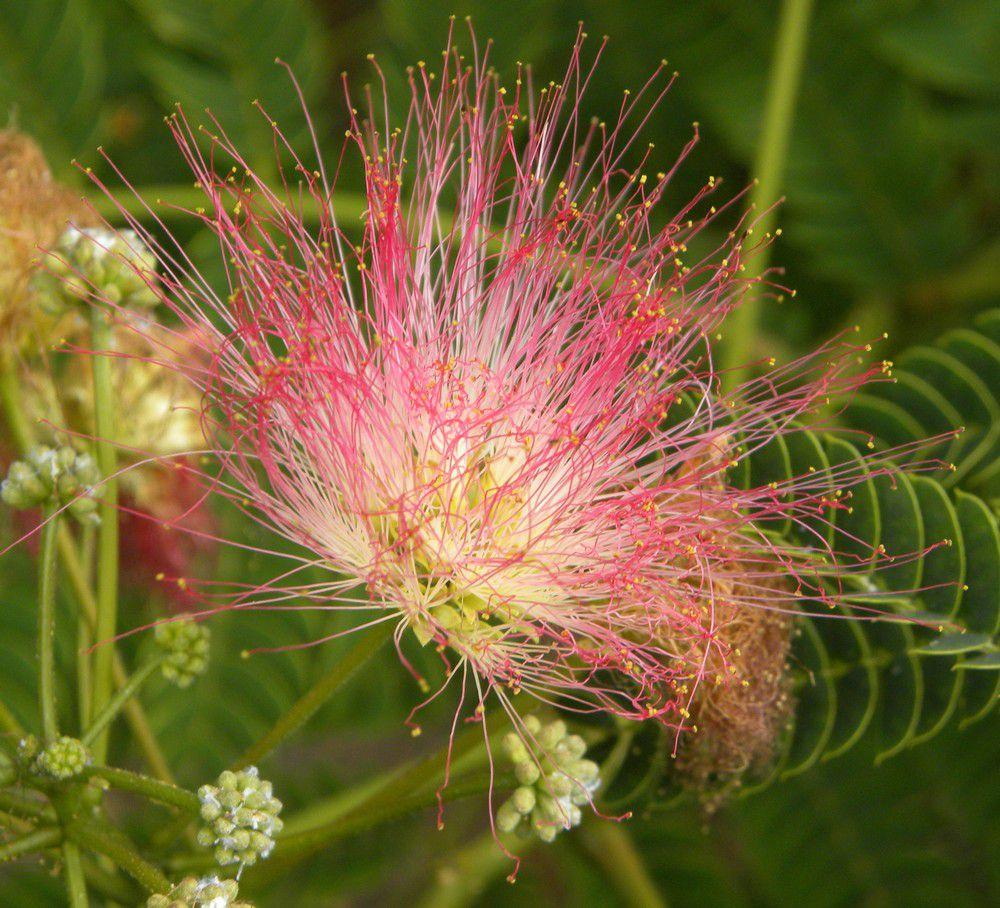Fleur d'albizzia