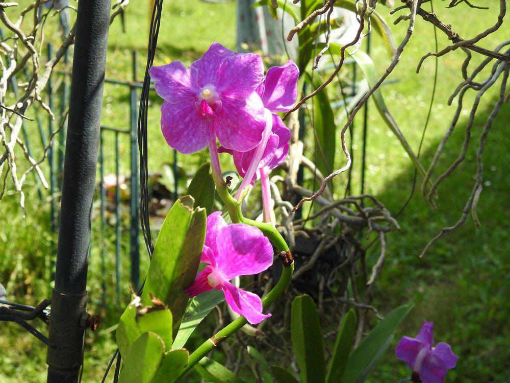 Mes orchidées vandas - mai 2020...
