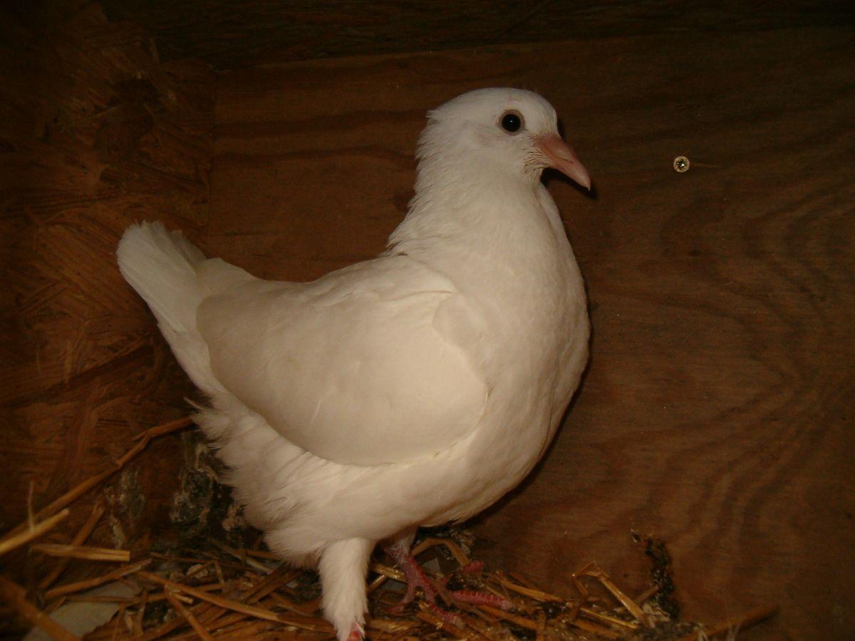 Le pigeonneau a maintenant 30 jours et va bientôt quitter son nid.