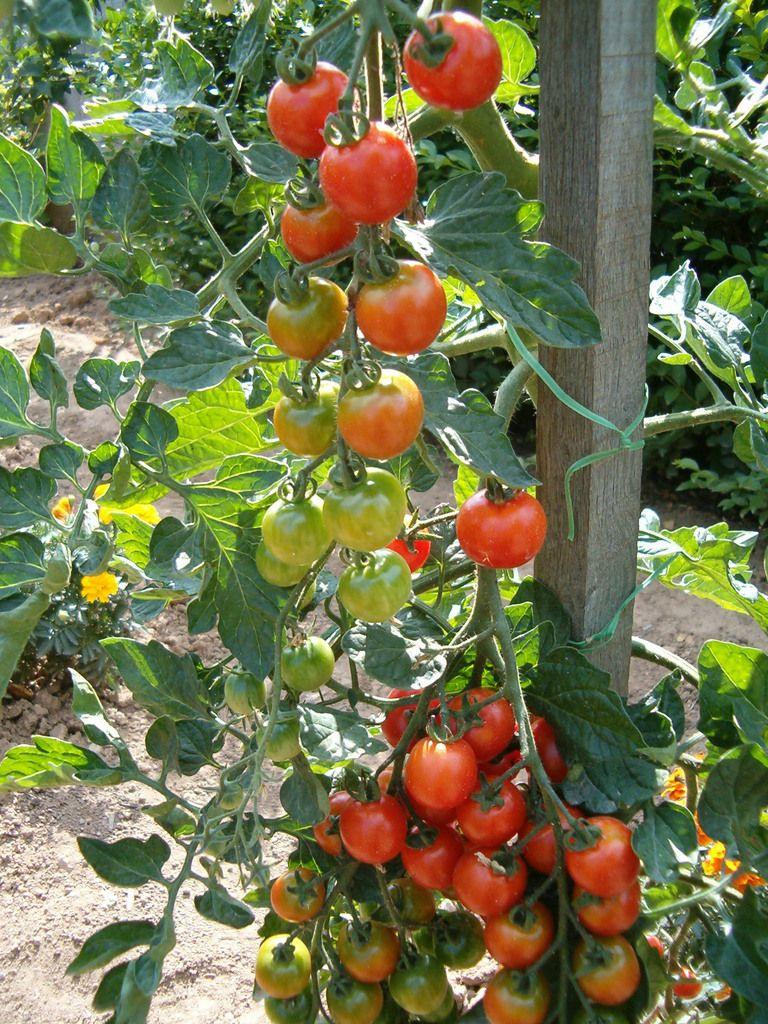 Les tomates cerises, pour le plaisir à tout moment.