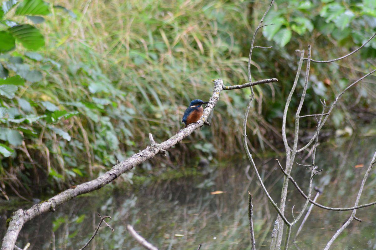 Le voilà cet oiseau bleu, le martin pêcheur !